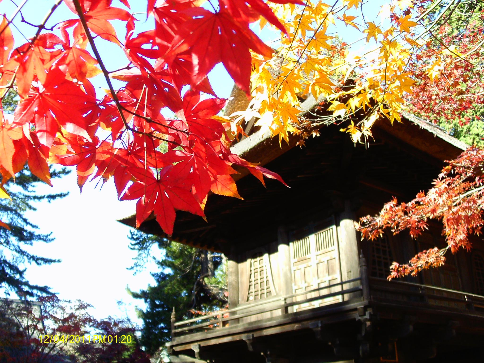 acer momiji no jardim japonês